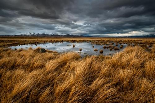 Tussock of Gold